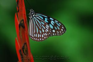 青い蝶々 (aoichocho - blue butterfly)