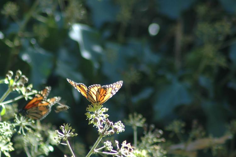 monarch on a leaf