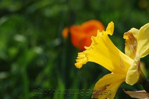 narcissus and orange