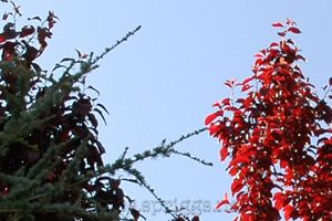 needles and red leaves