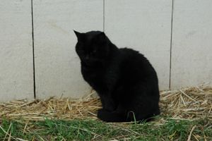 an old black moggy