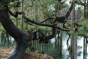 tethered tree